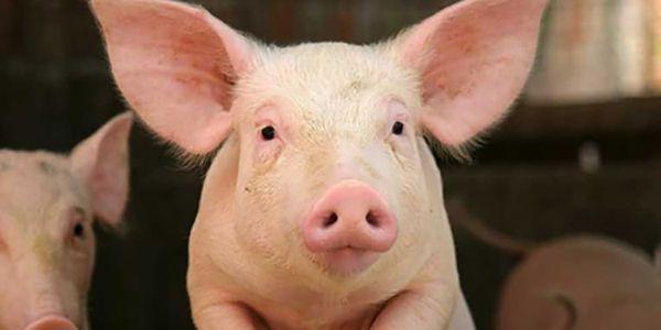 Veliki ružičasti svinja
