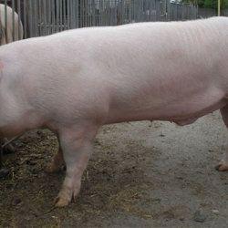 Engleski Veliki bijeli svinja