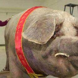 Chun-chun - Kineski gigant svinja