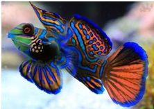 Mandarin риба