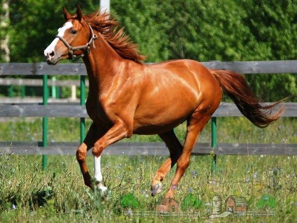 Buďonnovsk kobyla cvála cez pole