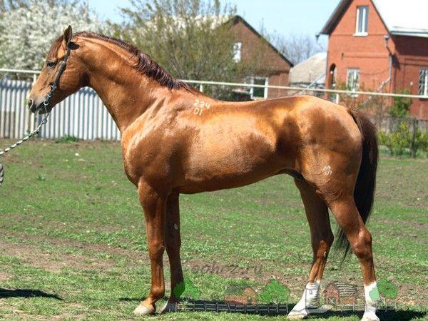 Don kôň so zlatým leskom