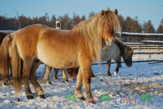 Jakutský kôň o roamingu