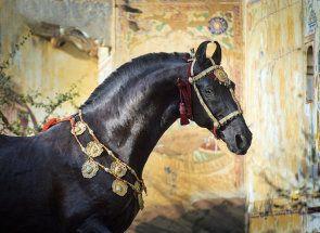 Najkrajšie kone na svete: Kto sú oni?