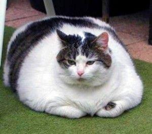 Дебелата котка