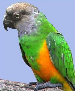 Senegalus popugaypoicephalus senegalezi