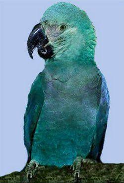 Glaucous makao ili akvamarinovyyanodorhynchus Glaucus