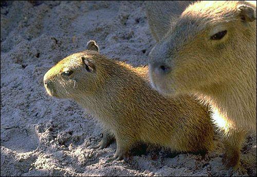 Capibara (Hydrochoerus hydrochaeris). Foto, Foto rozătoare imagine