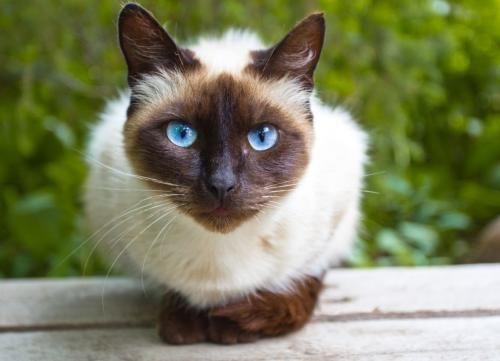 Foto siamez pisică
