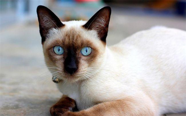 Siamské mačka foto