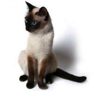Сиамски котки порода