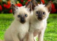 Siameze-Kittens-domestice-animale-2256707-1280-1024