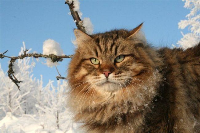 Sibírska mačka foto