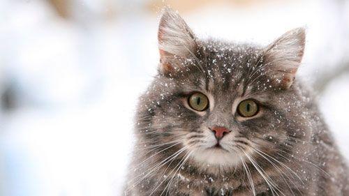 Sibirski: opis vrste, priroda i karakteristike brige
