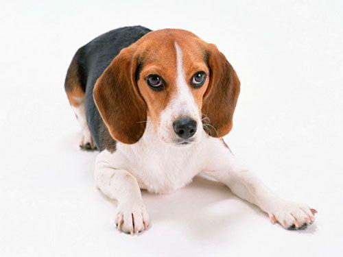 Simptomi i liječenje hipotireoze kod pasa