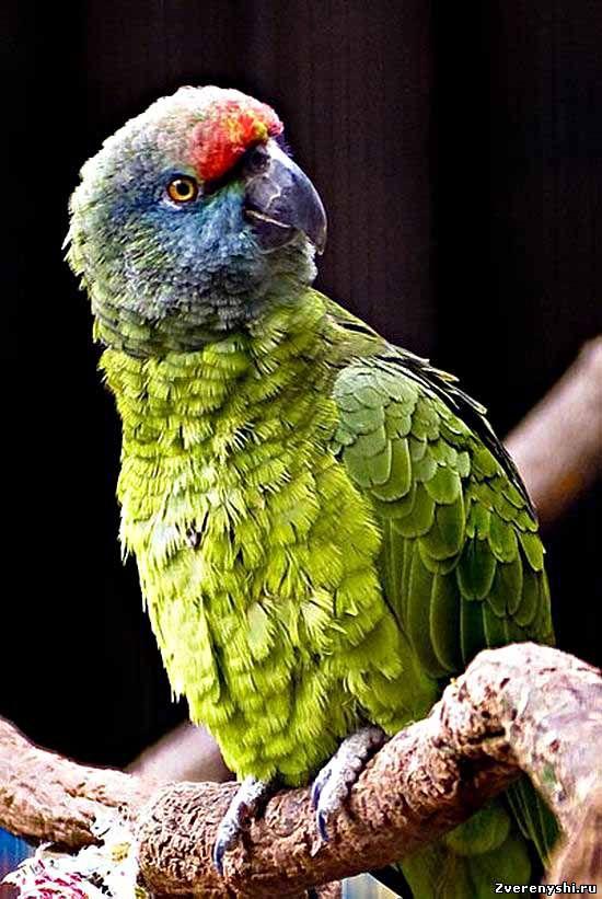 Sineborody Amazon, Festiva festive sau festivalnyyamazona