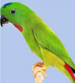 Sinegolovy agățat papagal sau serendakloriculus galgulus