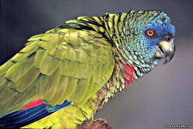 Blue-se confruntă, multi-colorate sau sentlyusiysky amazonamazona versicolor