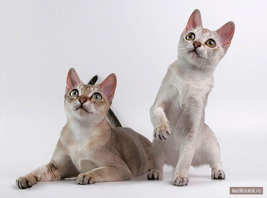 Singapur cat (Singapur) Singapur mačacie plemeno