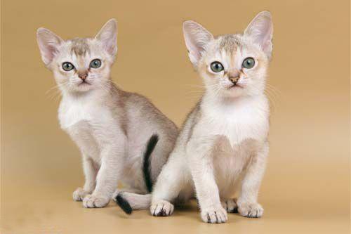 singapur cat