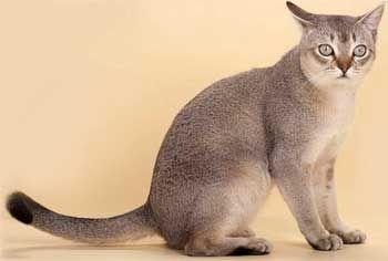 Cat rase Singapore