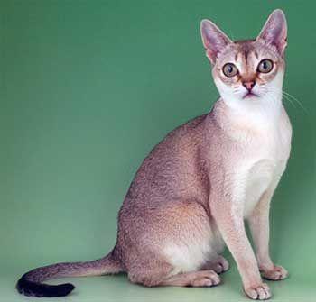Singapur mačacie plemeno