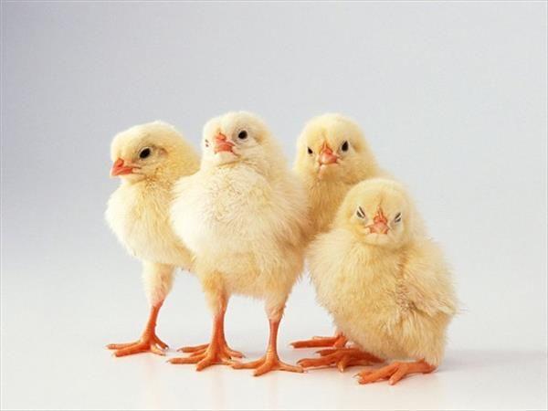 Četiri piletina jedni pored drugih