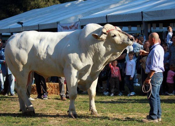 Koľko by mal vážiť kravu?