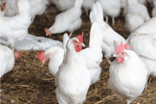 Koľko vajec z kurčiat čakať?