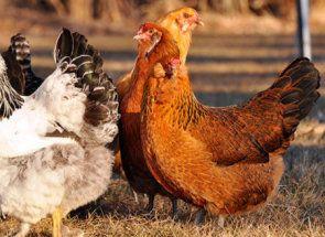 Koľko môže žiť kurča a čo to ovplyvní?