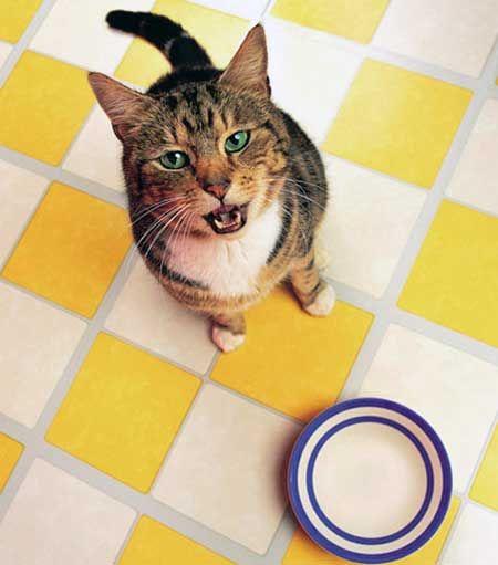 Koľkokrát nakŕmiť mačku?