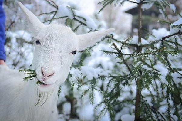 Koľko seno na zimu potrebovať koza: vybrať perfektné možnosť