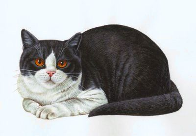 Britská mačka bicolor