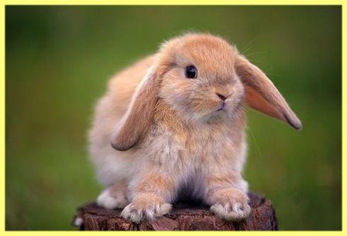 Koľko živé domáce dekoračné králiky: Foto a Video