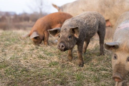 Trecerea de rase de porci