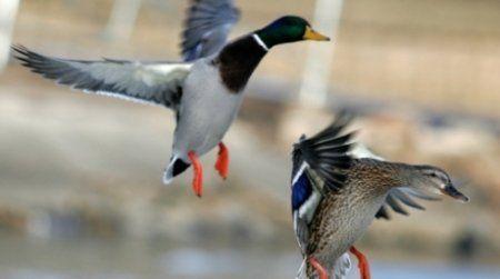 Predmeta u lov patke