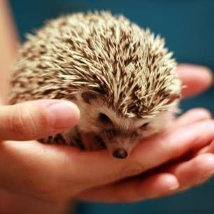 Obsah ježko, pretože podmienky, skrotenie, kŕmenie, chôdza, hygiena. Ako si vybrať pri nákupe ježka