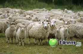 La ovine, următorul conținut tehnologie de ovine: pășune, garare pe tot parcursul anului, pășunatul și stand-pășune garare.