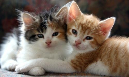 Ako udržať dve mačky v byte