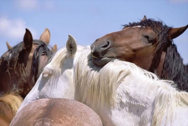 Dospelí kone spia spolu