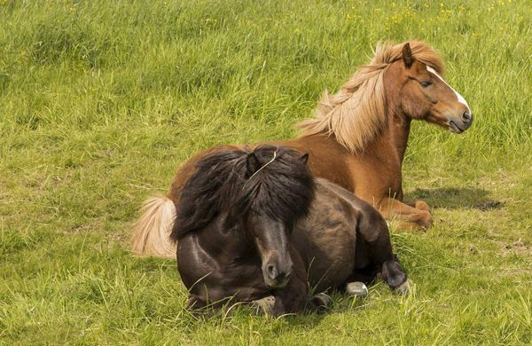 Dva kone sa opiera o roamingu