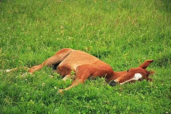 Malý žriebä spí na tráve