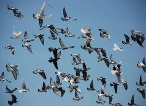 Sport i golubovi - apsolutno nespojivo stvari