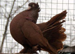 Stately golubova - lijepa, ponosna držanja i graciozan oblik tijela
