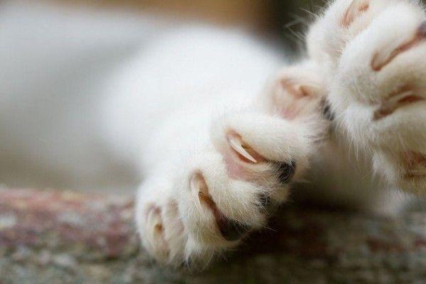 labe de pisica cu gheare