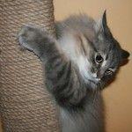 Cat ascutit ghearele sale pe un post scratching
