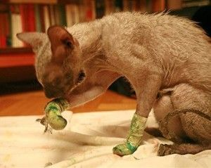 pentru îngrijirea pisica după îndepărtarea unghiilor