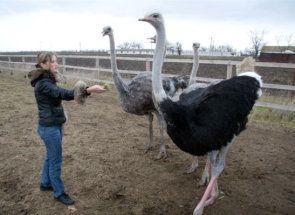 Ostrich Farm - primul pas în afaceri de mare