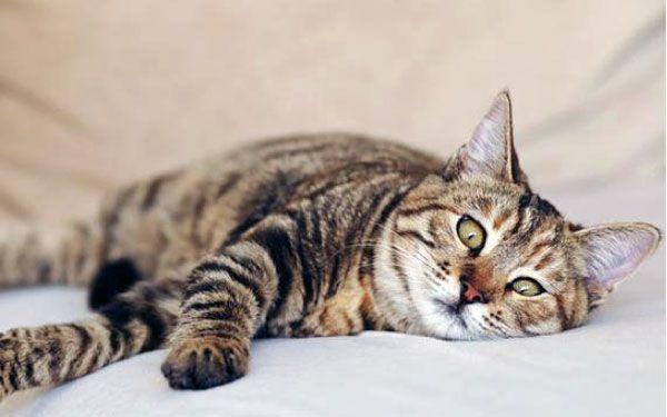 Stres u mačiek: prečo tam je, príznaky, liečba