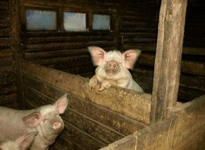 Izgraditi savršen kuća za svinje